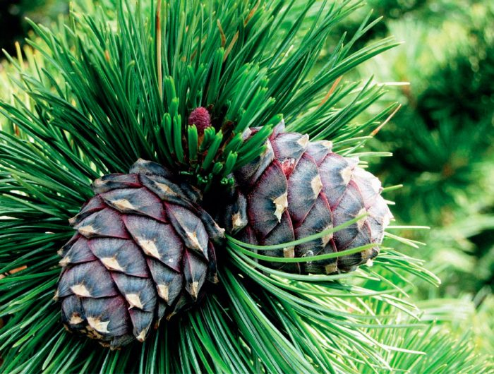 Сосна европейская (Pinus cembra), или кедр европейский
