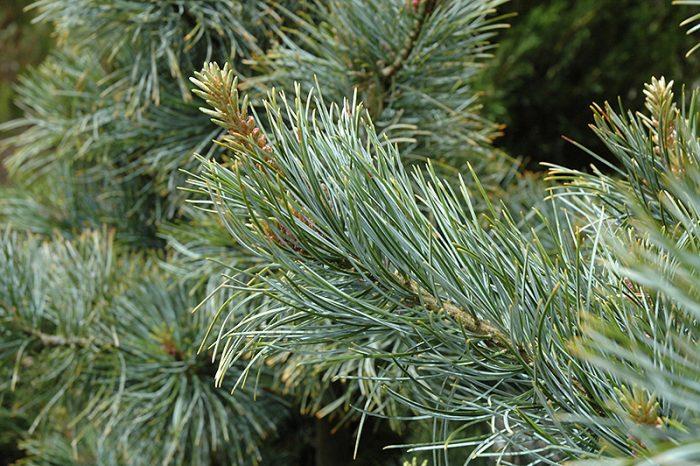 Сосна кедровая корейская (Pinus koraiensis), или кедр корейский