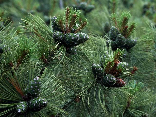 Сосна кедровая стланиковая (Pinus pumila)