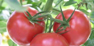 Список лучших сортов помидоров