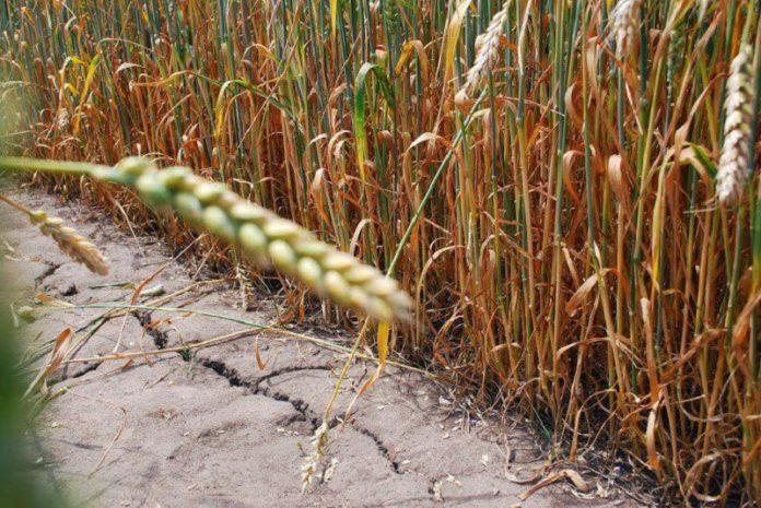 Боязнь неурожая повышает котировки на российскую пшеницу