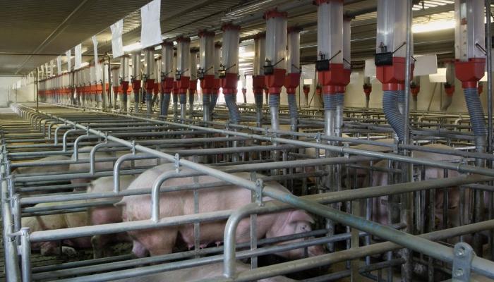 Свинокомплекс на 98 тыс. голов стоимостью 3,7 млрд руб. заложили в Ленобласти