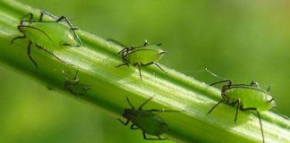 Тля - вредитель растений и как избавиться от неё