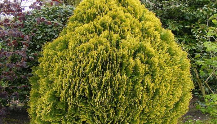 Туя с желтой листвой (растения этого сорта могут быть как высокорослые, так и карликовые)