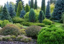 Уход за елью в саду