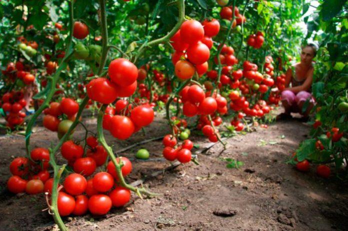 Уход за помидорами в теплице