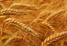 Урожай озимой пшеницы сократится на 10 млн тонн