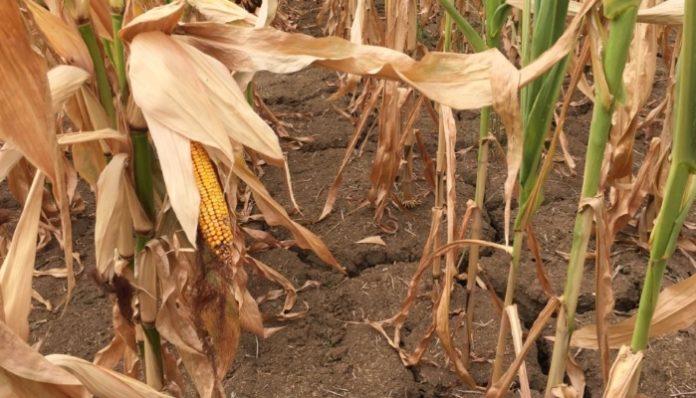 Ущерб сельхозрегионов от ЧС уже достиг 1,7 млрд руб. при 1,9 млрд руб. компенсаций, предусмотренных бюджетом на 2018 год - НСА