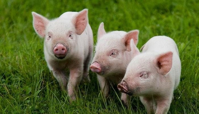 В Башкирию прибыли 388 чистопородных свиней из Дании