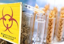 В Канаде обнаружена генно–модифицированная пшеница