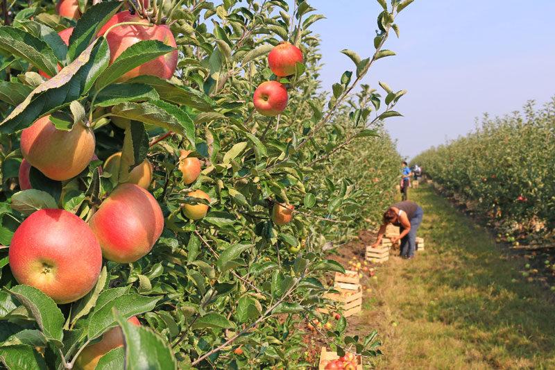 В этом году в России ожидается урожай яблок почти на 100 тыс т. больше