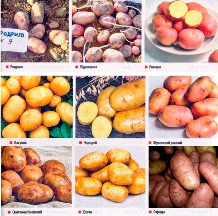Виды и сорта картофеля