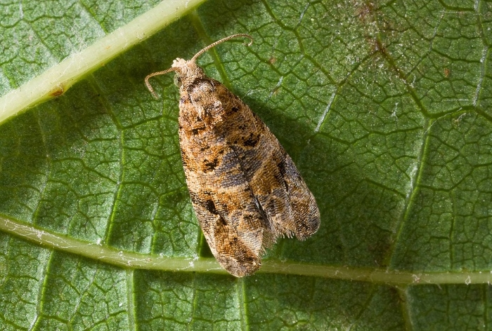 Виноградная листовертка – бабочка-вредитель