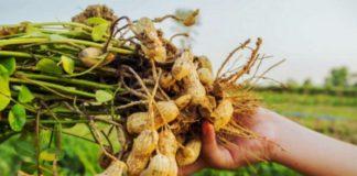 Вредители и болезни арахиса