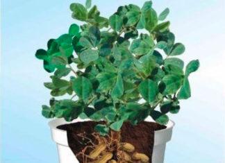 Выращивание арахиса в домашних условиях