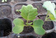 Выращивание брюквы из семян