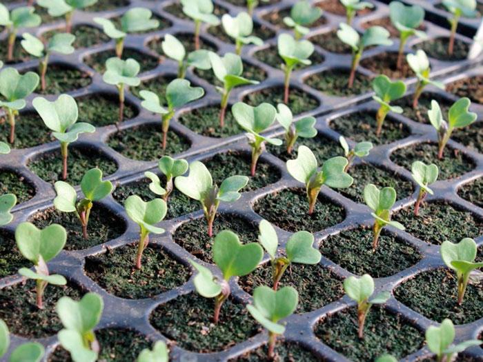 Выращивание брокколи из семян