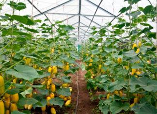Выращивание кабачков в теплице