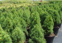 Выращивание канадской ели