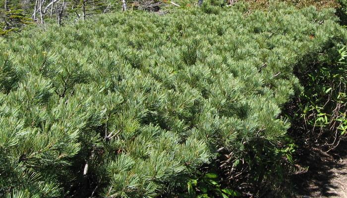 Заросли стланика часто называют стелющимися лесами или кедровниками