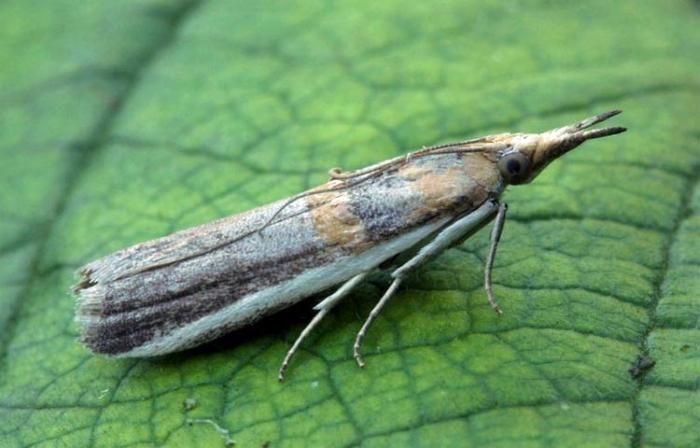 Защита растений от бабочки-вредителя акациевой огневки