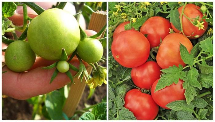 6 обязательных условий для томатов