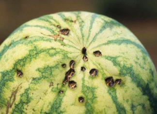 Болезни и вредители арбуза