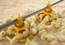 Чем нужно кормить цыплят от четырнадцати дней своей жизни до месяца