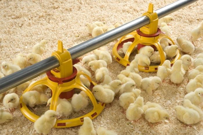 Чем нужно кормить цыплят от четырнадцати дней своей жизни до месяца?
