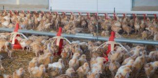 Чем нужно кормить цыплят от месяца до убоя?