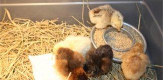Чем нужно кормить цыплят в первые четырнадцать дней своей жизни?