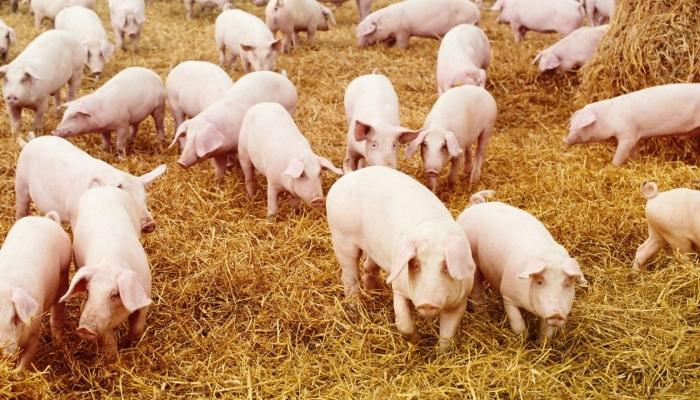 «Черкизово» запустила последнюю площадку воронежского свиноводческого кластера за 8 млрд рублей