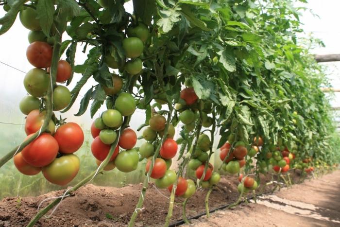 Что нужно делать в июне, чтобы получить богатый урожай томатов