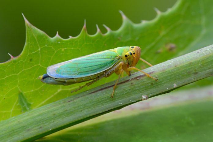 Цикадка зеленая Cicadella viridis