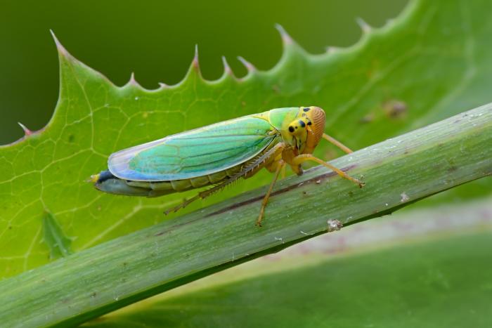 Цикадка зеленая