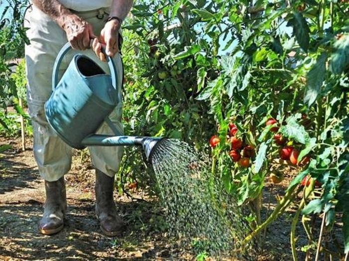 Дачникам, которые не знают сколько воды нужно помидорам