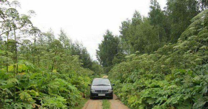 Дорога к тульскому селу заросла борщевиком выше человеческого роста