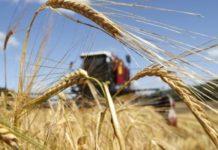 Глава Минсельхоза рассказал о возможном объеме урожая зерновых культур
