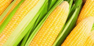 Глобальное потепление негативно скажется на урожае кукурузы