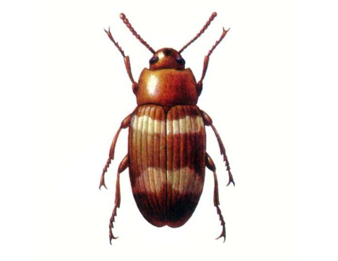 Хрущак двуполосый Alphitophagus bifasciatus Say