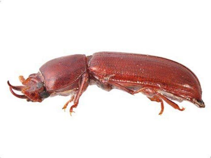 Хрущак рогатый Хрущак широкорогий Gnathocerus cornutus F