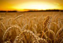 Итальянскую пасту barilla станут делать из оренбургской пшеницы