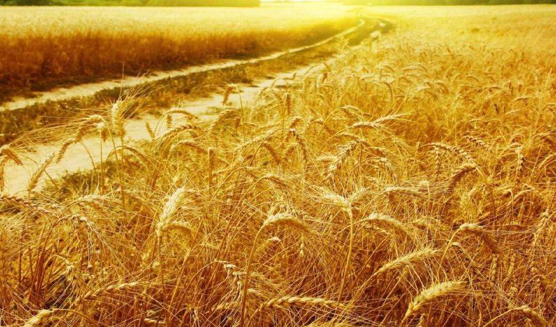 Из-за засушливой погоды урожайность зерновых на сегодня ниже, чем год назад