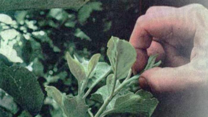 Как повысить урожай с помощью прищипки. Секреты агронома