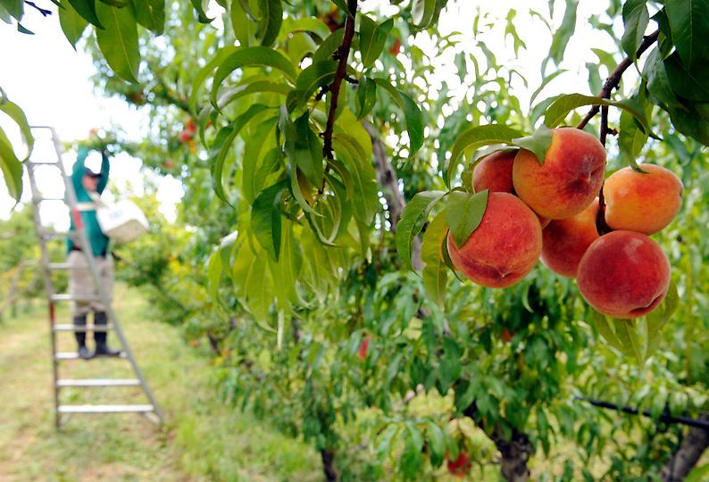 Как вырастить персики на 6 сотках