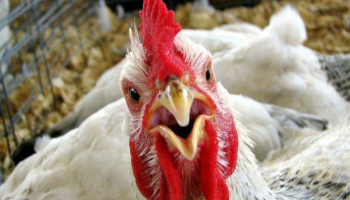 Карантин по птичьему гриппу введен еще в одном районе Курской области