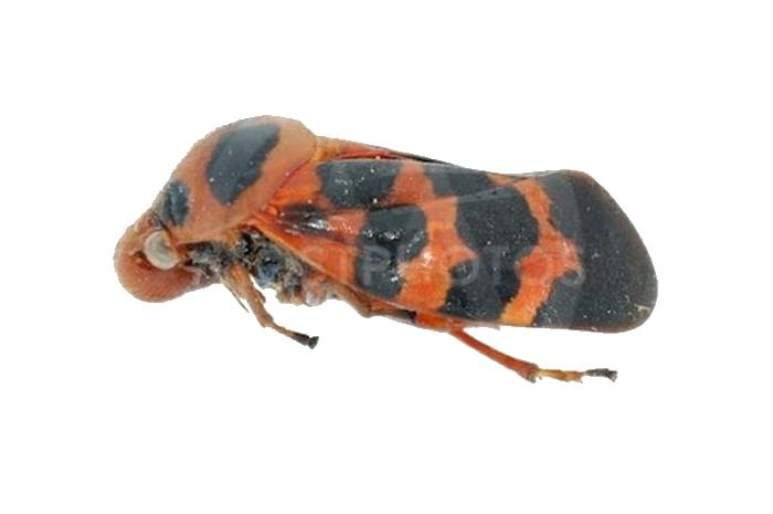 Цикада красная Tibicina haematodes