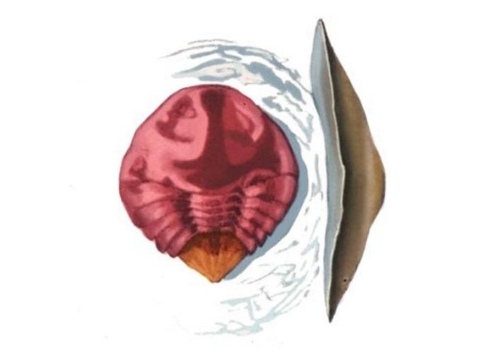 Щитовка грушевая красная
