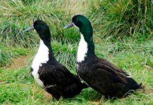 Мясная порода – утка черная белогрудая