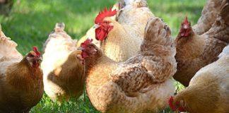 Мясо-яичные породы кур: достоинства, недостатки, особенности